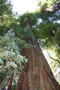 redwood6